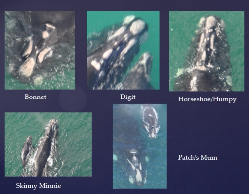 Examples of individual whales which have been identified by matching  the unique pattern of white markings (callosities) covering the head area over repeated seasons. Source: SEA SRW PIC Catalogue - Warrnambool.