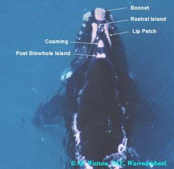 southern right whale photo identification
