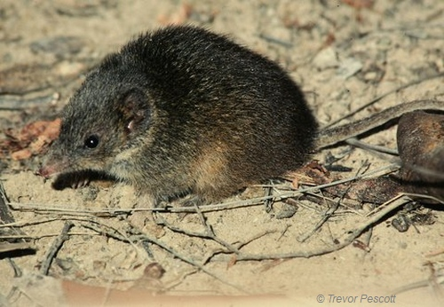 Swamp Antechinus