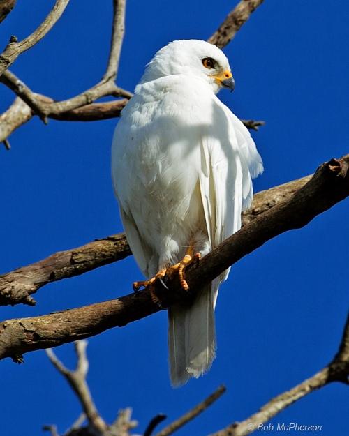 Grey Goshawk (white morph). Image courtesy Bob McPherson.