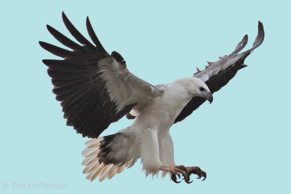 White-bellied Sea-Eagle Image: Bob McPherson