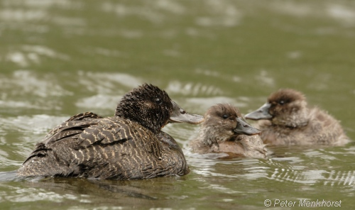 Blue-billed duck family. Image courtesy Peter Menkhorst.