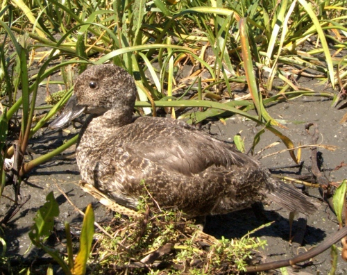 Female Blue-billed Duck - note the stiff tail feathers.