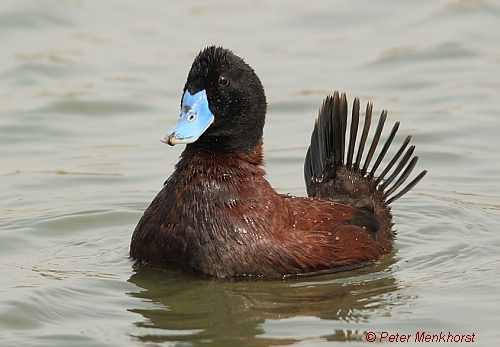 Blue-billed Duck (male). Image courtesy of Peter Menkhorst.