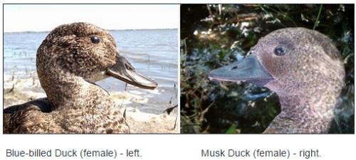Blue-billed Duck (female) - left, Musk Duck (female) - right