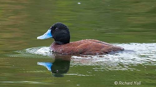 Blue-billed Duck (male). Image courtesy of Richard Hall photography