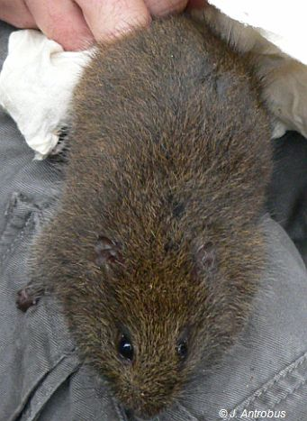 Broad-toothed Rat