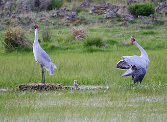 Brolga pairs bond for life and have been known to utilise the same nesting areas for up to 20 years