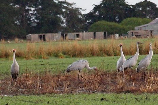 Brolgas can be a welcome sight on farmlands. Image: Stuart McCallum