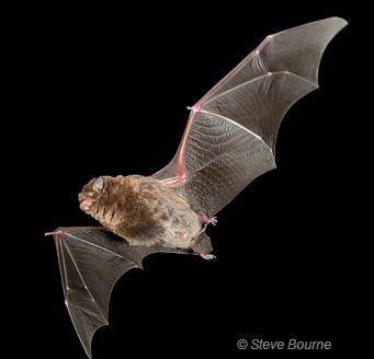 common bent wing bat