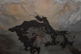 Southern Bent-wing Bats clustered on roof of a roosting cave. Image: Gabrielle Lanman