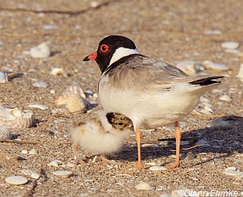 Hooded Plover and chick