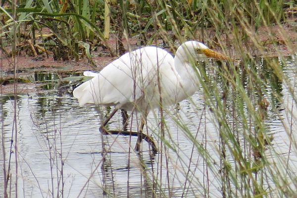Intermediate Egret Image:Ron Clissold