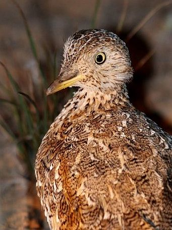 plains-wanderer head image Mat Gilfedder