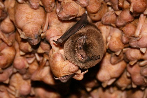 Southern Bent-wing Bat with mother and young Image: Steve Bourne