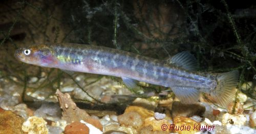 Australian Mudfish Rudie Kuiter