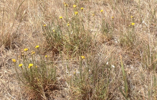 Button Wrinklewort is associated with Kangaroo Grass (Themeda triandra) on plains grassland, and grassy woodlands. Image: A. Arnold