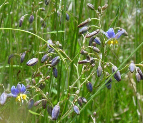 Matted Flax-lily
