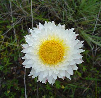 White Sunray