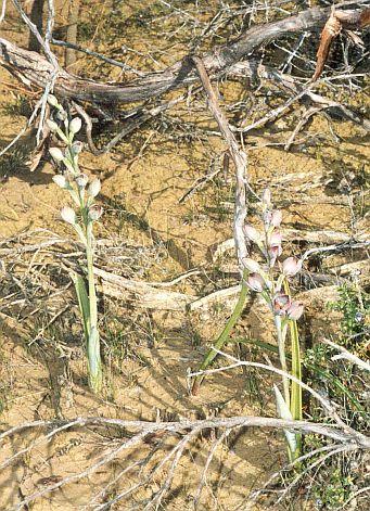 Typical habitat utilising bare area under dead vegetation