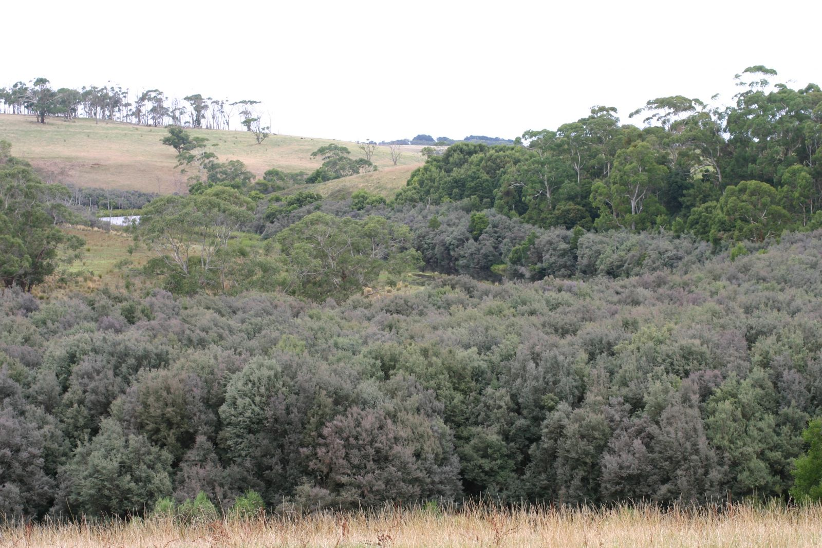 Swamp Scrub habitat (mainly Woolly Tea-tree)