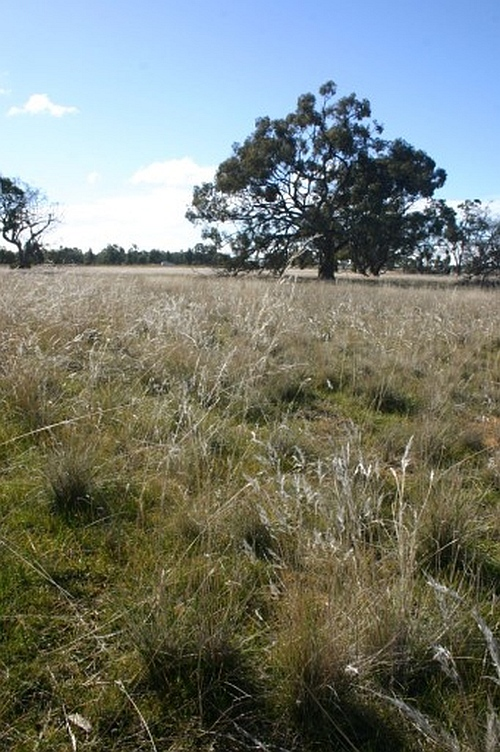 Rytidosperma (formerly Austrodanthonia) Wallaby Grass habitat at Salisbury Bushland Reserve in the Wimmera.