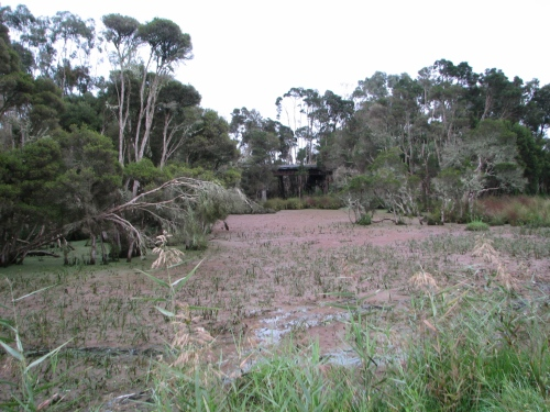 Typical Dwarf Galaxias habitat; shallow wetland connected to a creek. Wetland containing species such Juncus, Persecaria, Phragmites, Triglochin and Typha. Melaleuca trees are also a dominant feature of the vegetation community at some sites.   Image: Daniel Stoessel.