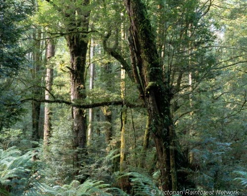 Cool temperate rainforests