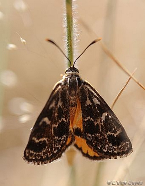 Golden Sun Moth (female). Image: Elaine Bayes.