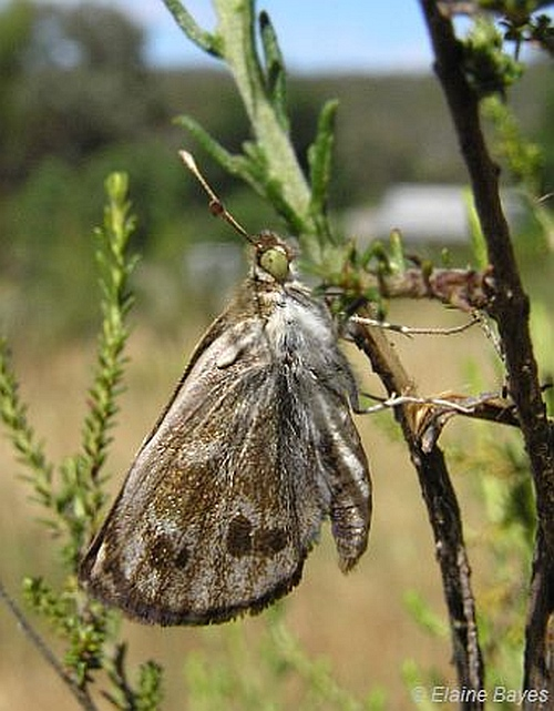 Golden Sun Moth (male). Image: Elaine Bayes.