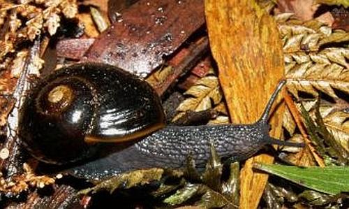 Otway Black Snail