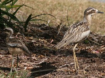 Securing habitat for the Bush-Stone-curlew