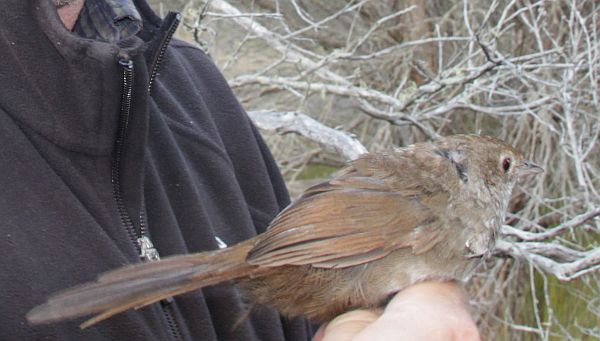 Eastern Bristlebird being relocated by Dr Rohan Clarke Image: T Mitchell