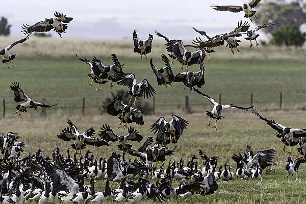 Magpie Geese taking off. Image David Wehlan