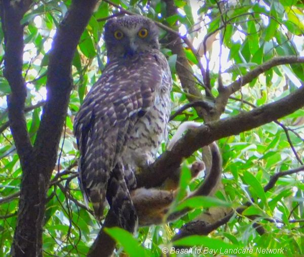 Powerful Owls on retained remnant roadside Image Lisette Mills