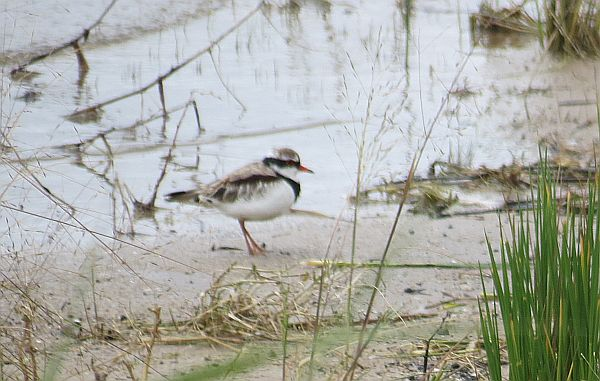 Black-fronted Plover Ron Clissold