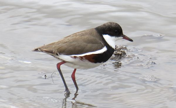 Red-kneed Dotterel Ron Clissold