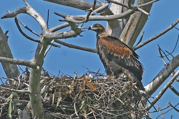 Wedge-tailed Eagle at nest Bob McPherson