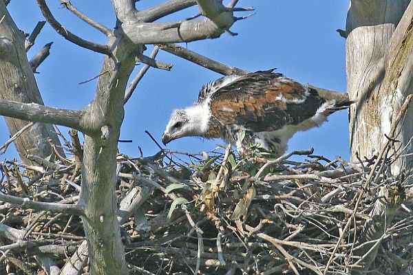 Wedge-tailed Eagle chick - Bob McPherson