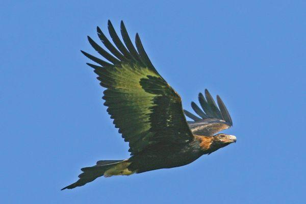 Wedge-tailed Eagle in flight Bob McPherson