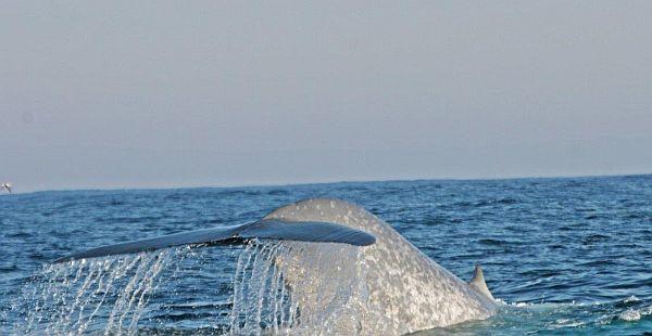 blue whale 6 Bob McPherson