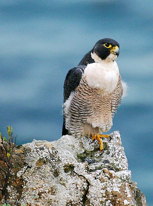 peregrine falcon bob mc pherson 2