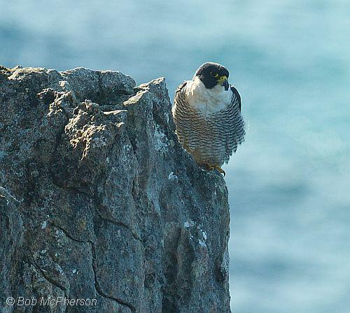 peregrine falcon 3 bob mc pherson