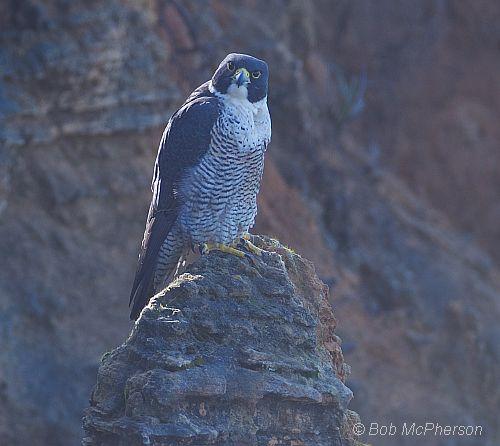 peregrine falcon 1 bob mc pherson