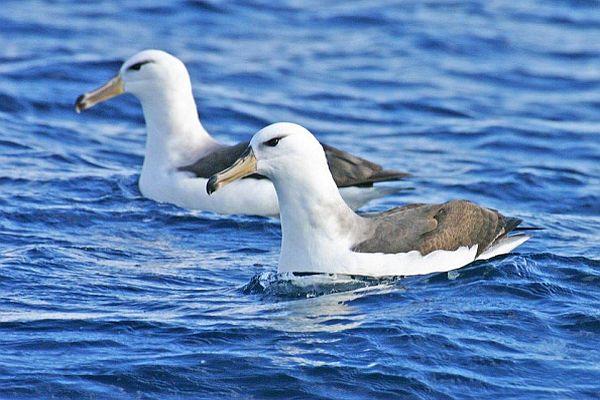 Black-browed Albatross Bob McPherson