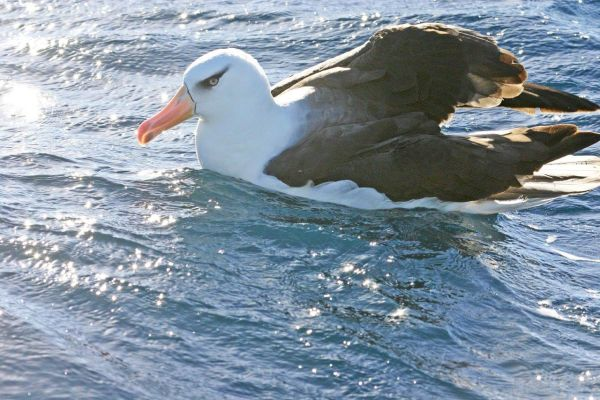 Black-browed Albatross adult Bob McPhersion