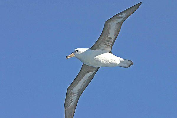 Black-browed Albatross underside Bob McPherson