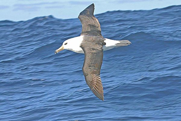 Black-browed Albatross flying Bob McPherson