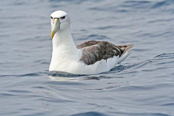 Shy Albatross Bob McPherson