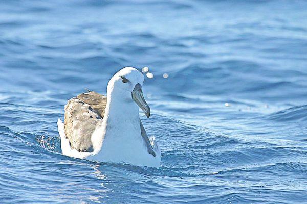 Yellow-nosed Albatross Bob McPherson